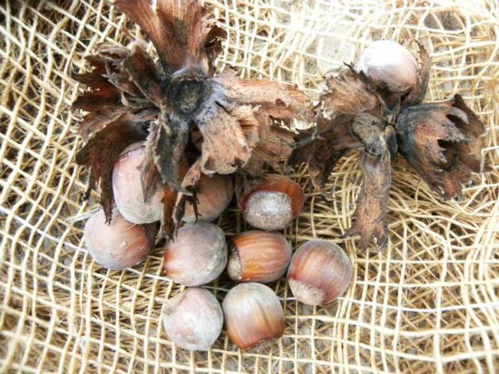 Pianta di nocciola delle langhe < corylus avellana > online vivai il sorbo