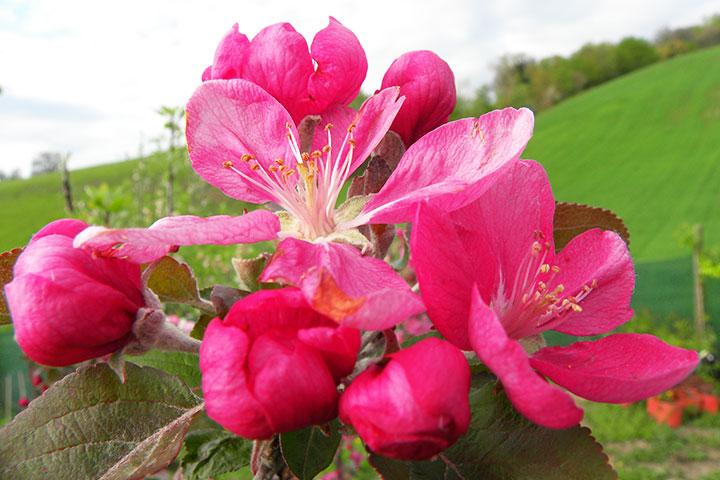 fiore della mela dalla polp rossa o cocomerina online