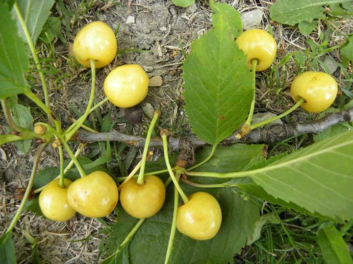 pianta di ciliegia gialla online