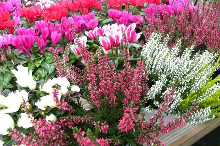 """Vivai """"Il Sorbo"""" - vendita piante da giardino - eriche"""