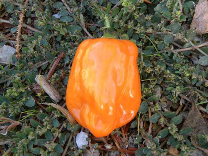 Peperoncino Habanero orange - 200.000 scoville