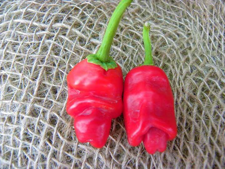 Peperoncino Piter pepper