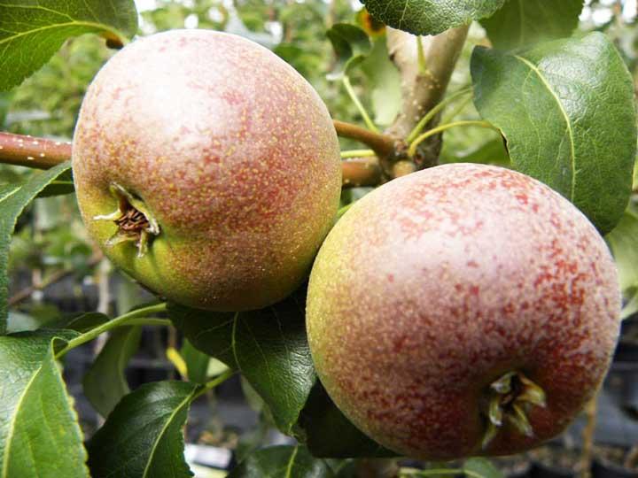 Pianta di pera