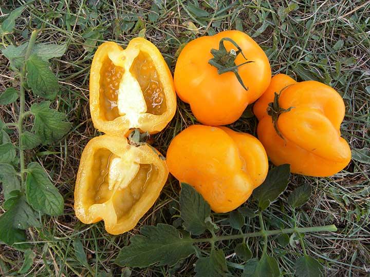Pomodoro peperone