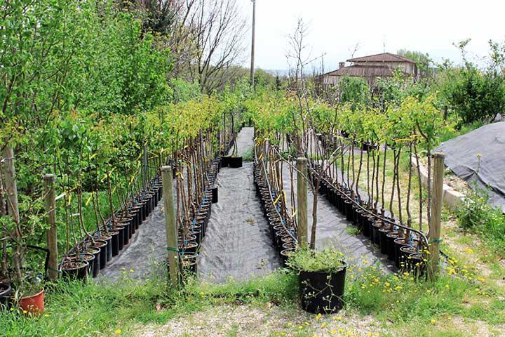 Realizzazione frutteti e oliveti Pesaro-Urbino