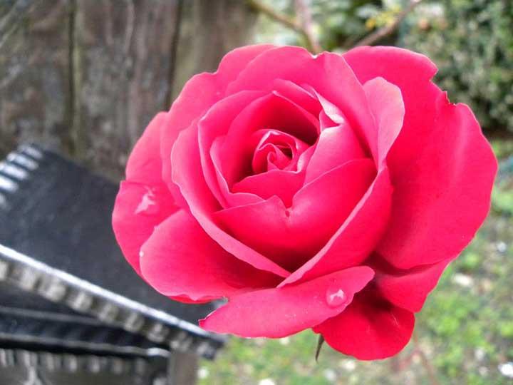Rosa simpaty