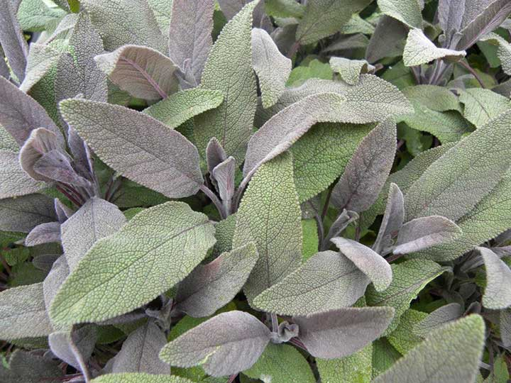 vendita on line pianta di salvia purpura