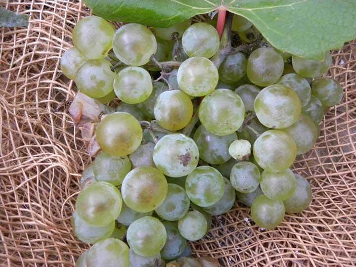 uva-bocciolone-bianco