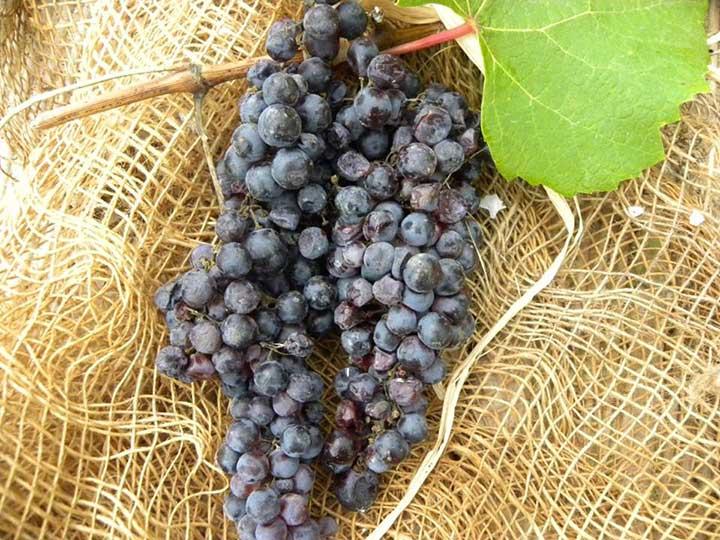 uva-formichina-nera