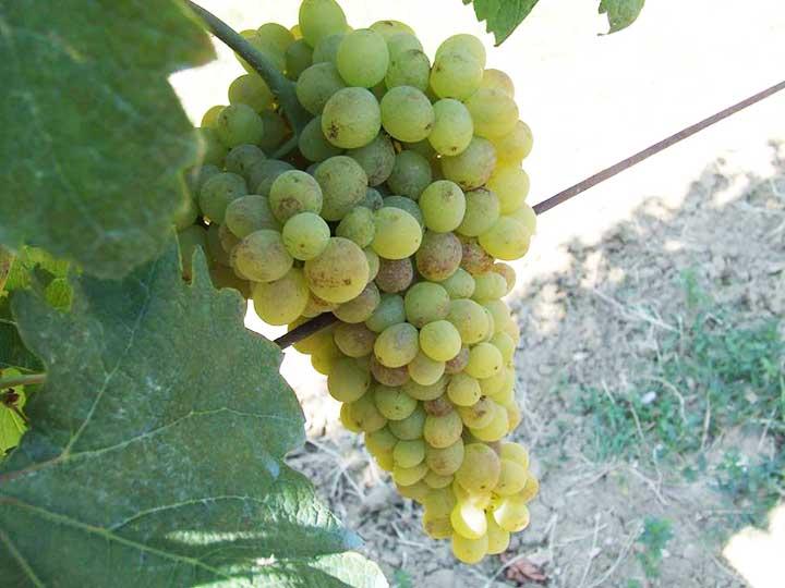 uva-luglia