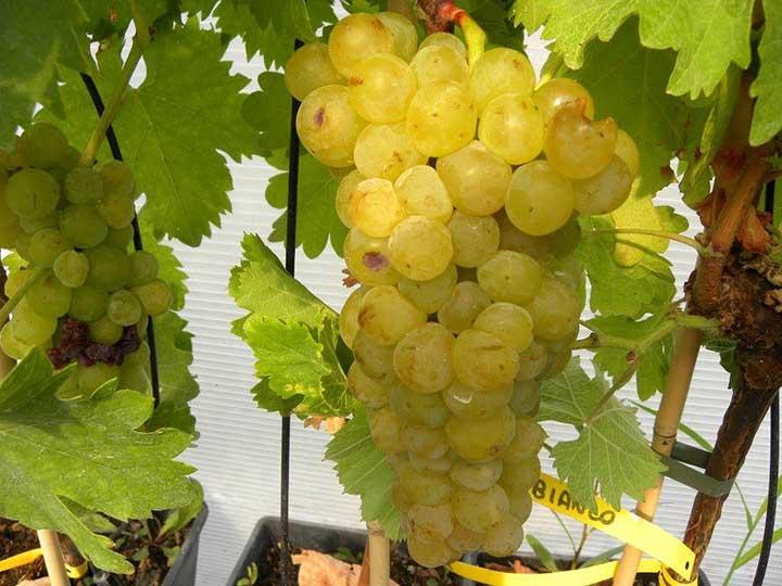Pianta di uva da tavola