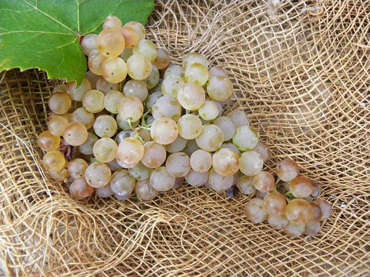 uva-torbiano-bianco