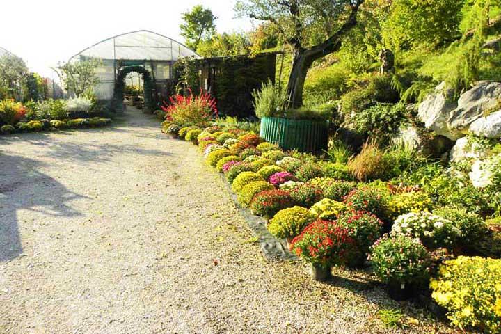 "Vivai ""Il Sorbo"" - vendita piante da giardino - crisantemi"