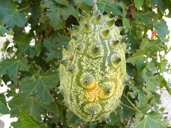 "Zucca ornamentale ""kiwano"""