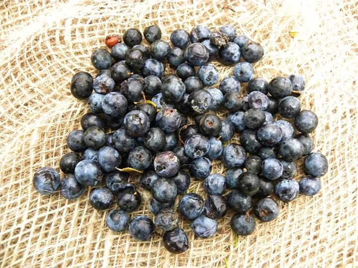 Pianta di prunus spinosa < prugnolo >