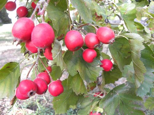 Vivai Rosso Antonio : Pianta di azzeruolo rosso u c crataegus azarolus u e il sorbo vivai