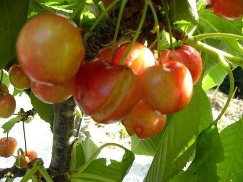 pianta di ciliegia durona gialla online