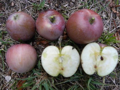 Pianta di mela olio