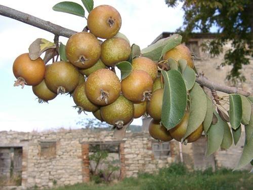 pianta di pera rossina online