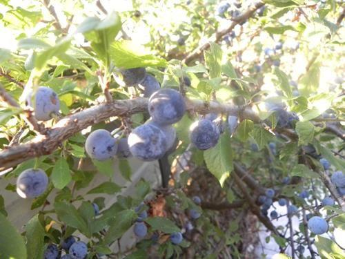 Pianta di prunus spinosa < prugnolo > online il sorbo