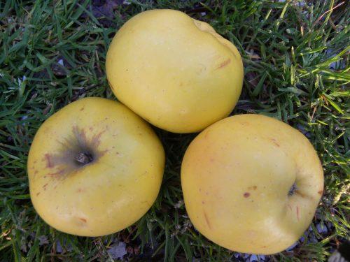 Pianta di mela renetta gialla online il sorbo