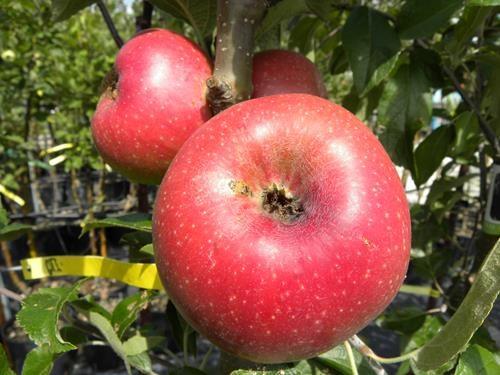 pianta mela abbondanza rossa online