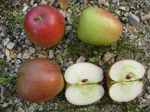 pianta di mela agostana online