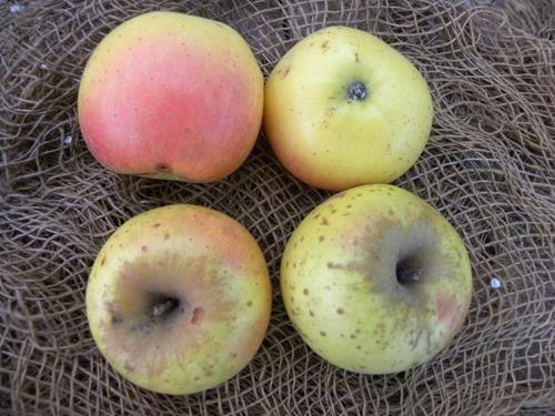 pianta di mela bianca online