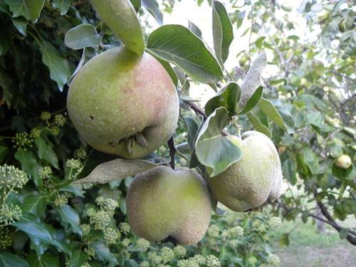 pianta di mela cotogna online