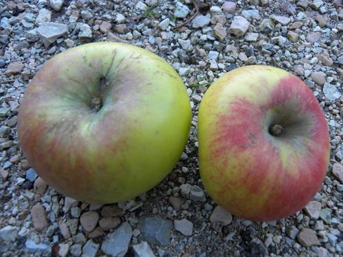 pianta di mela durella online
