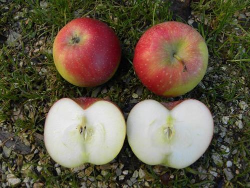 pianta di mela imperatore online