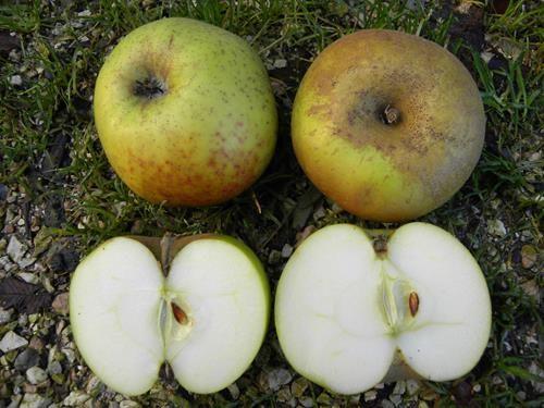 Pianta di mela renetta del canada online il sorbo