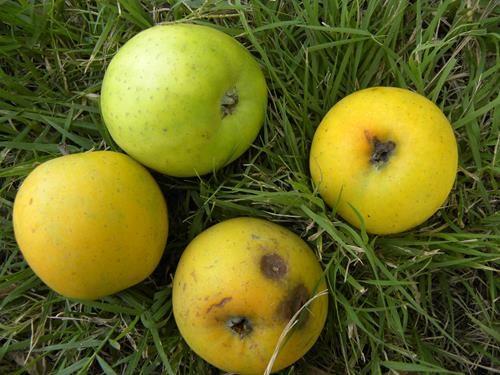 pianta di mela renetta ananas online