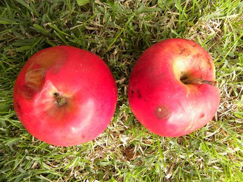 Vivai Rosso Antonio : Pianta di mela rossa u c malus domestica u e il sorbo vivai di