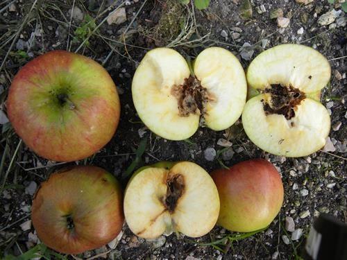 pianta di mela striata online