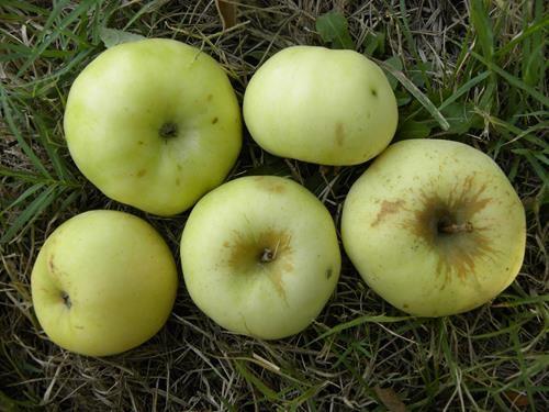 pianta di mela renetta champagne online