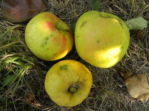 pianta di mela renetta dorata online