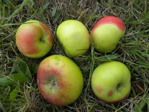 Pianta di mela rosa di Caldaro online il sorbo