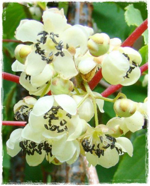 pianta di kiwi arguta impollinatore online