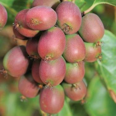 pianta di kiwi arguta online