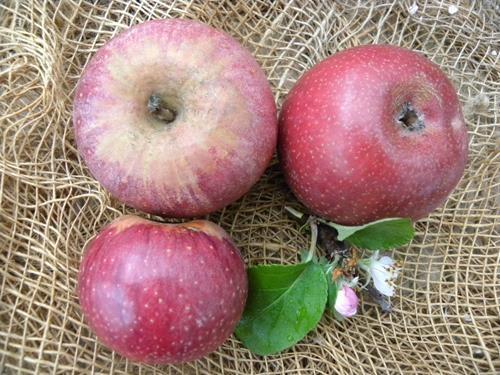 pianta di mela annurca online