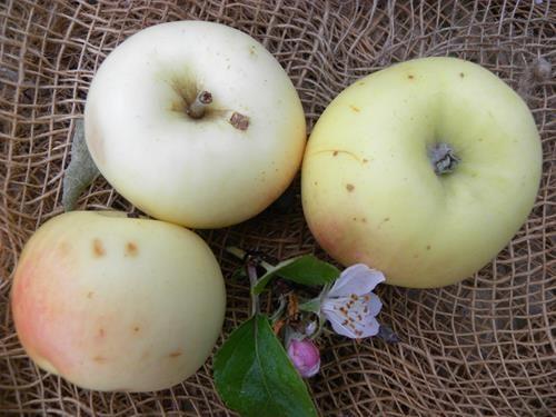 pianta di mela bianchina online