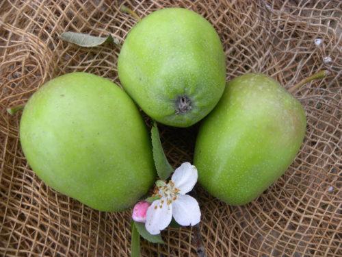 pianta mela di cuzza online