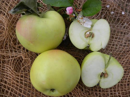 Vivaio Forestale Abruzzo : Pianta di mela gelata u003c malus domestica u003e il sorbo vivai di