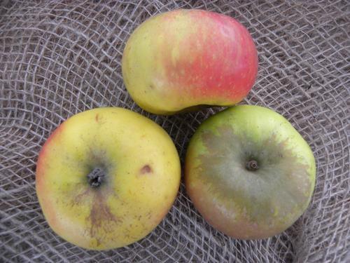 pianta di mela rosa gentile online