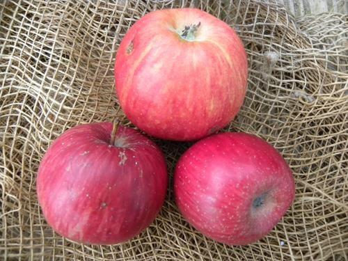 pianta di mela rubra precoce online
