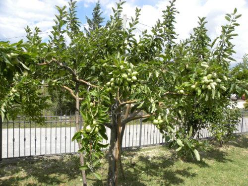 pianta mela uncino online