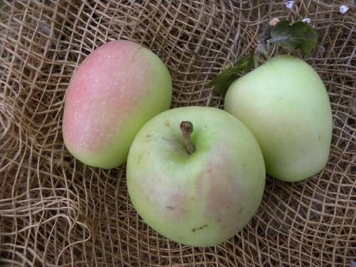 pianta di mela uncino online
