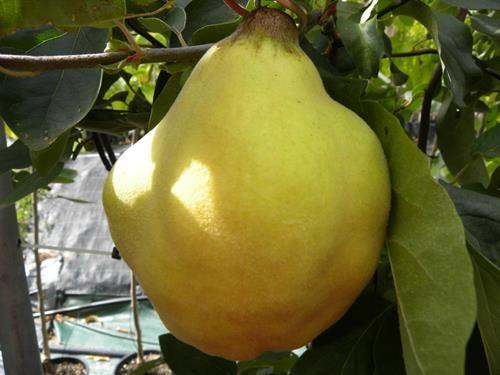 pianta di pera cotogna on line