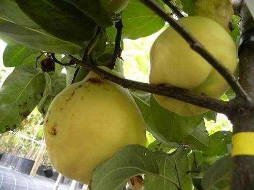 pianta di pera cotogna online